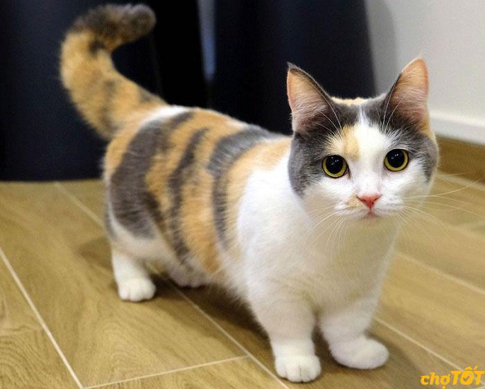 Bảng giá mèo Munchkin