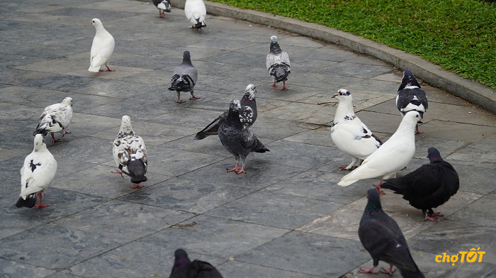 Các loại chim bồ câu