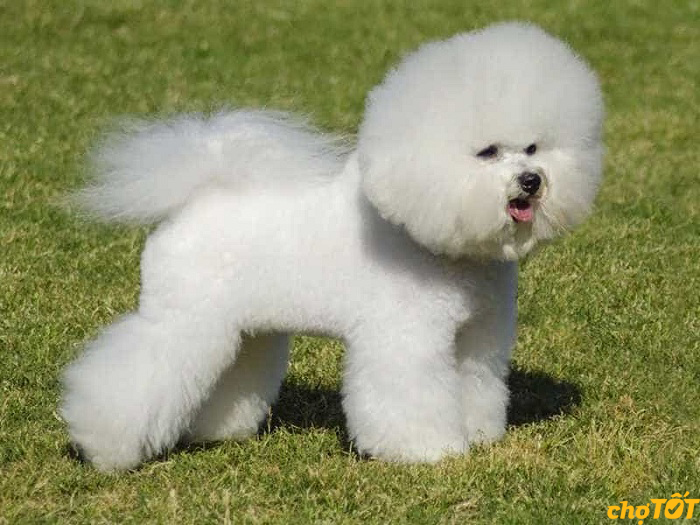 Môi trường sống cho chó Bichon