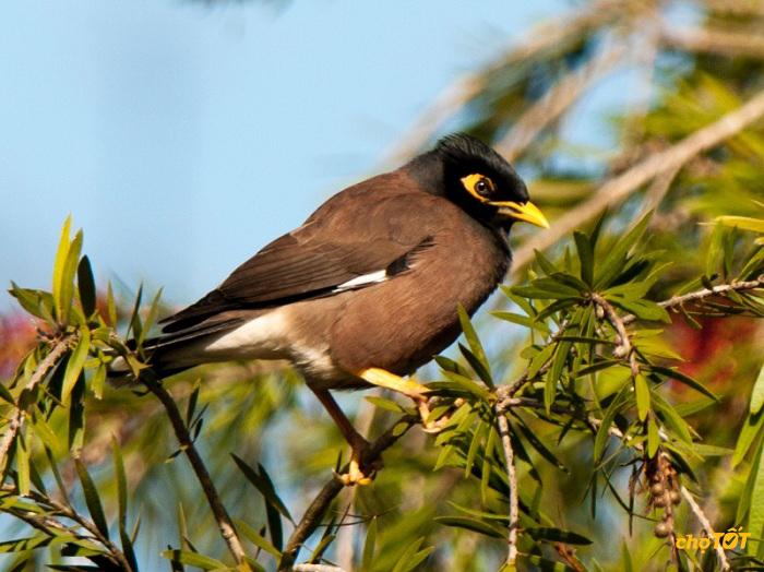 Dạy chim sáo nói