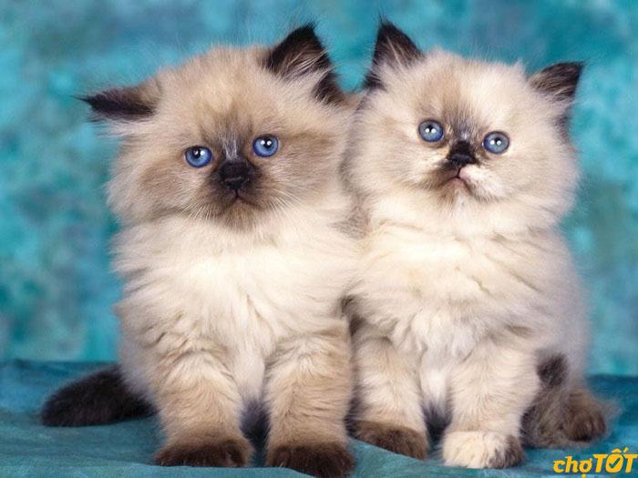 Trái với vẻ ngoài quý tộc, mèo ba tư rất thân thiện