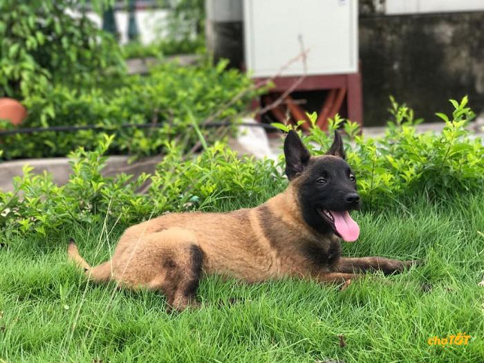 Chó malinois của Bỉ