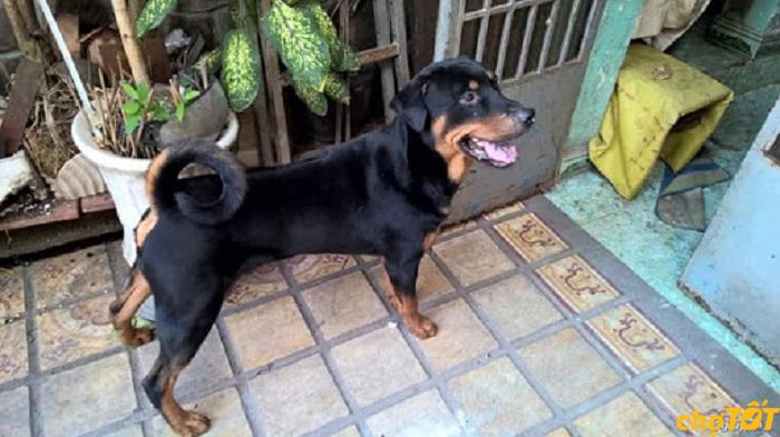 cho-Rottweiler-lai-phu-quoc