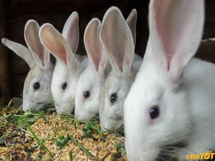 Thức ăn giàu tinh bột cho thỏ