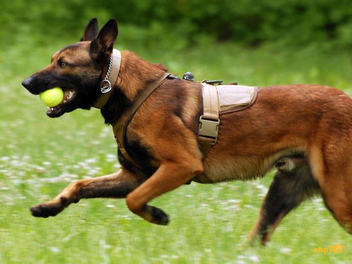 Chó Malinois rất thích vận động