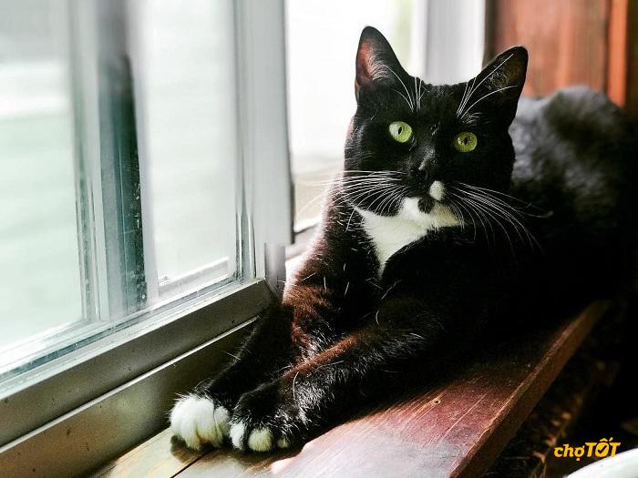 Mèo tuxedo có đắt không