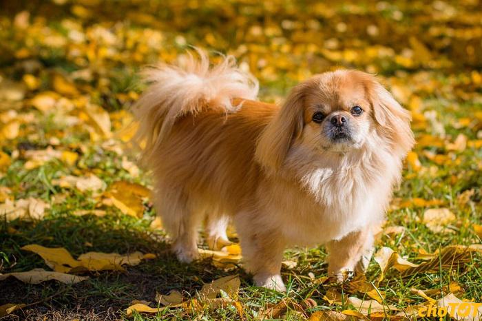 Nguồn gốc chó Bắc Kinh