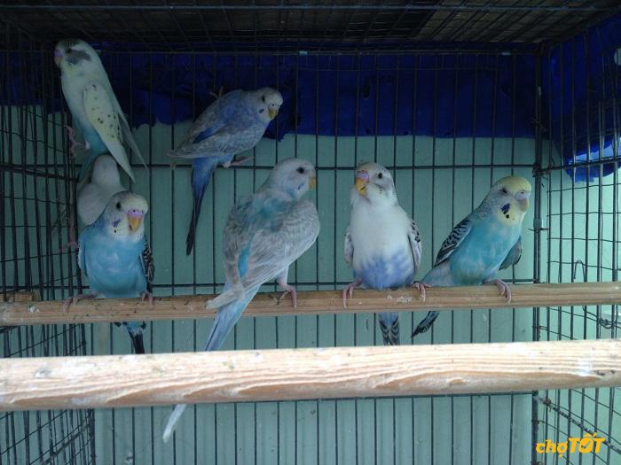Chim yến phụng có giá không quá đắt