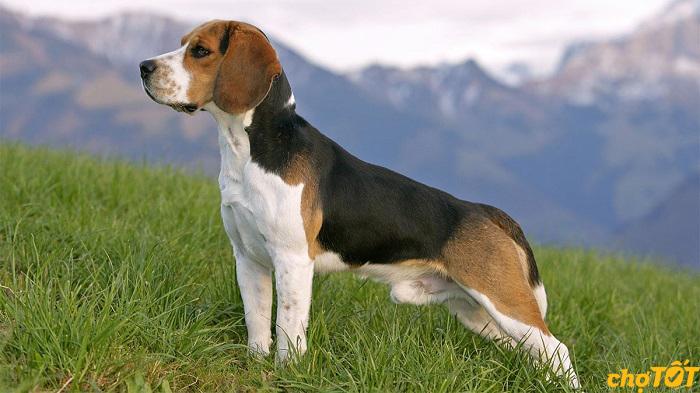Chó Beagle có nguồn gốc từ Anh