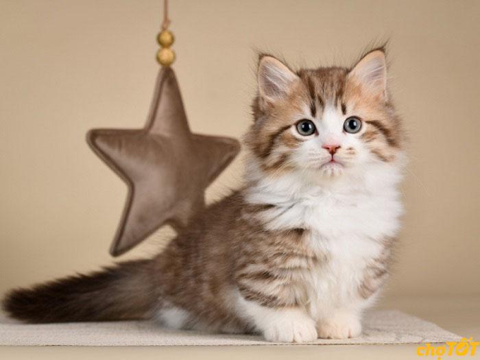 Mua bán mèo Munchkin thuần chủng ở Chợ Tốt