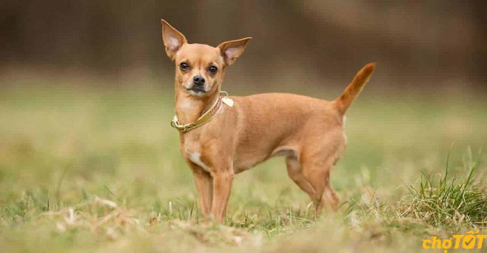 Tuy nhỏ con nhưng Chihuahua khá là hung dữ
