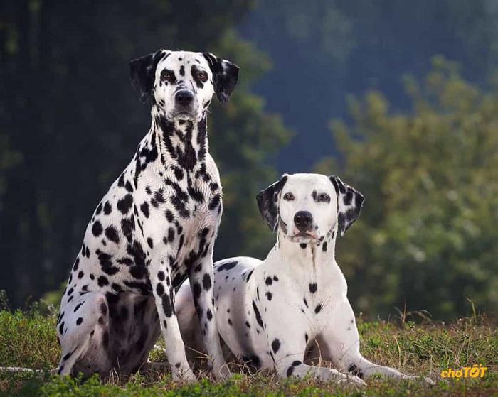 Bộ lông đốm đặc trưng của chó Đốm