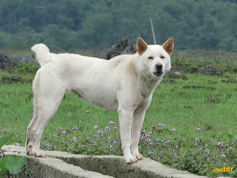 Nguồn gốc chó Mông Cộc