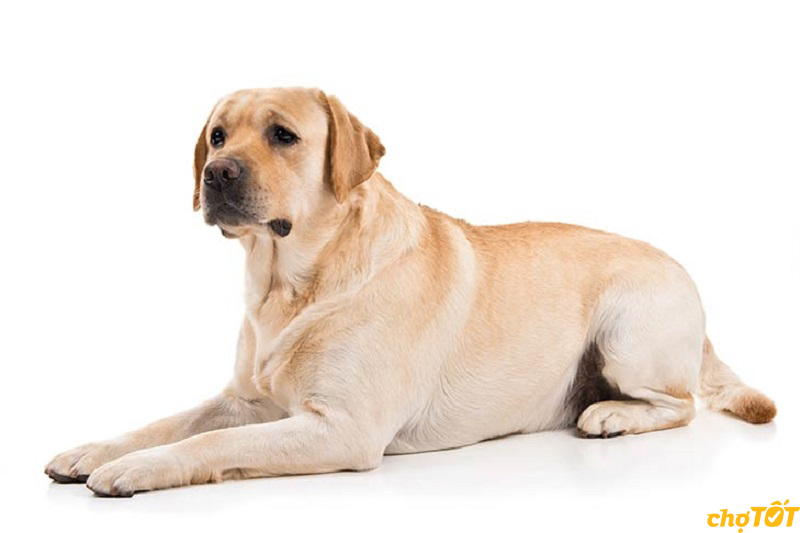 Tìm hiểu kỹ trước khi mua chó Lab thuần chủng