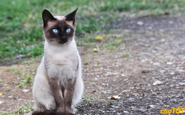 Mèo Xiêm dễ dàng thích nghi với khí hậu Việt Nam