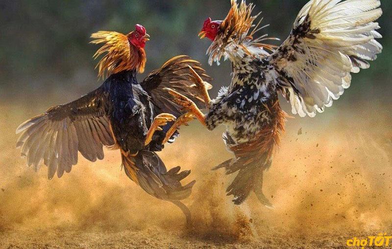 Nguồn gốc gà chọi