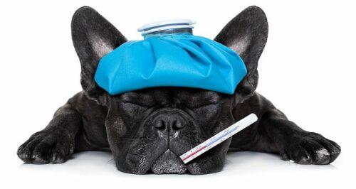 Nguyên nhân, biểu hiện và cách chữa trị bệnh Parvo ở chó