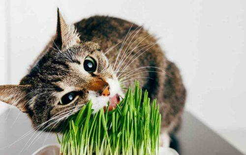Cỏ mèo là gì? Các lợi ích của cỏ mèo và cách sử dụng