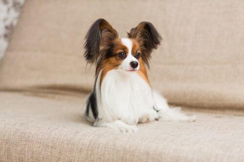 Chó Bướm (Papillon) – Giống chó cảnh nổi tiếng xinh đẹp và thông minh