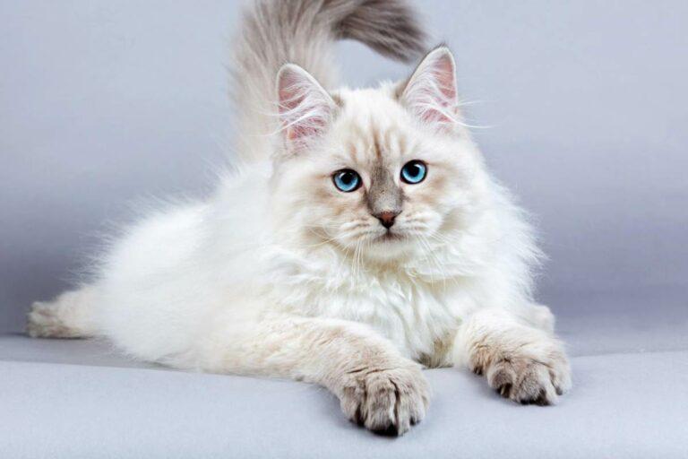 Mèo Siberian lông dài – Giống mèo chịu lạnh tốt nhất thế giới