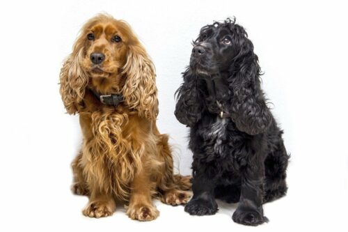 Chó Cocker Spaniel – Giống chó Tây Ban Nha đang được săn đón