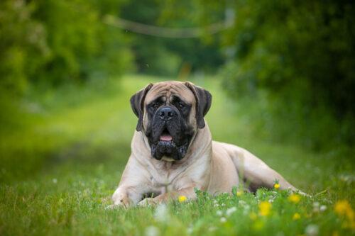 Chó Ngao Anh (English Mastiff) – Chú chó nặng ký nhất thế giới