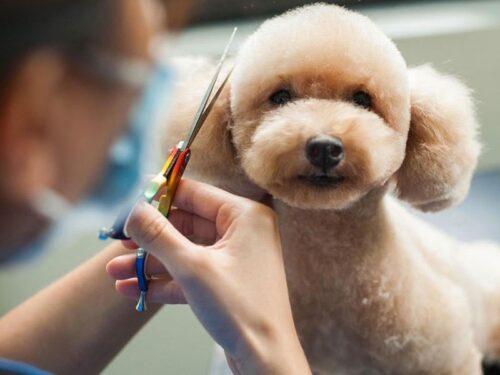 Những lưu ý không thể bỏ qua khi tỉa lông Poodle tại nhà