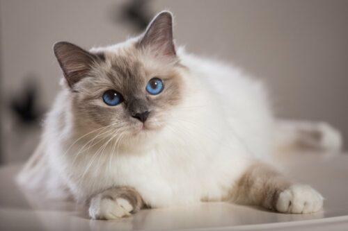 Mèo Birman – Giống mèo thần Miến Điện thuộc top đẹp nhất thế giới