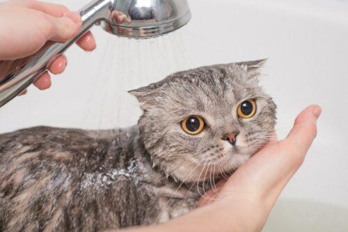 Sữa tắm cho mèo – Phân loại, cách dùng và công dụng