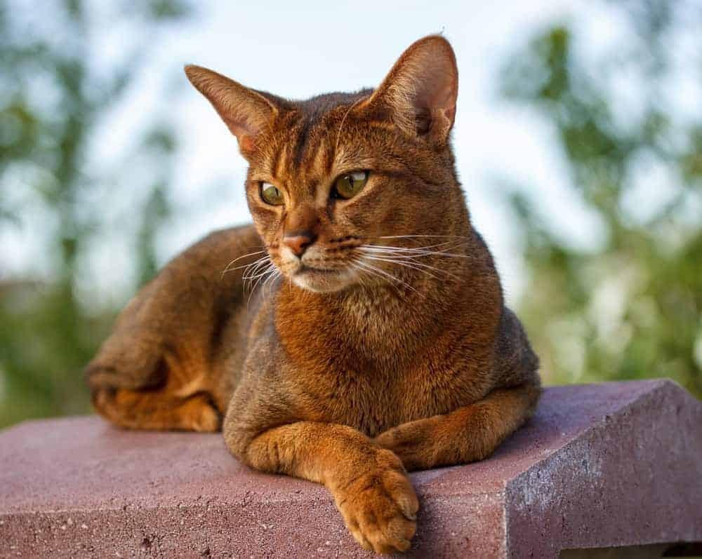 Mèo Abyssinian có khí chất vương giả cổ điển