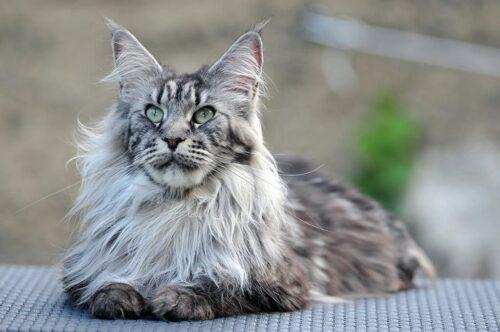 Mèo Maine Coon – Giống mèo khổng lồ thân thiện và ngoan ngoãn