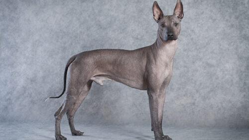 Cần lưu ý những gì khi nuôi chó không lông?