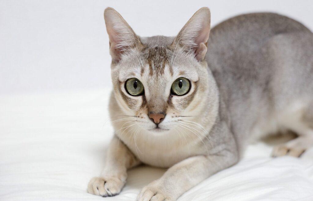Mèo Singapura nhỏ nhắn, đáng yêu