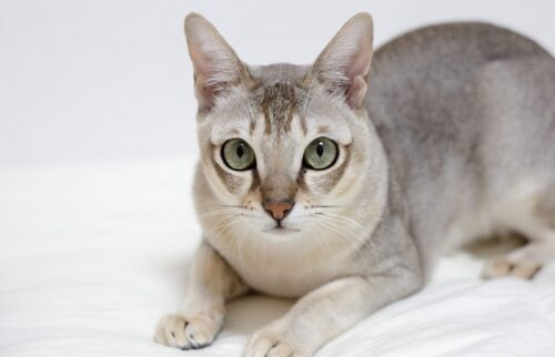 """Tìm hiểu về mèo Singapura – """"báu vật"""" của đảo quốc sư tử"""