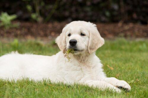 Chó ăn cỏ có nguy hiểm không? Nên làm gì để chó không ăn cỏ?