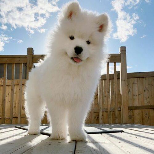 Chó Eskimo – Giống chó thông minh, xinh đẹp và đắt giá