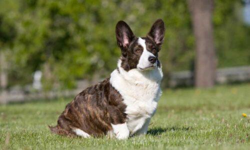 Chó Cardigan Corgi và tất cả những thông tin bạn cần biết