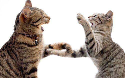 Mèo đánh nhau – Xác định nguyên nhân và cách ngăn chặn