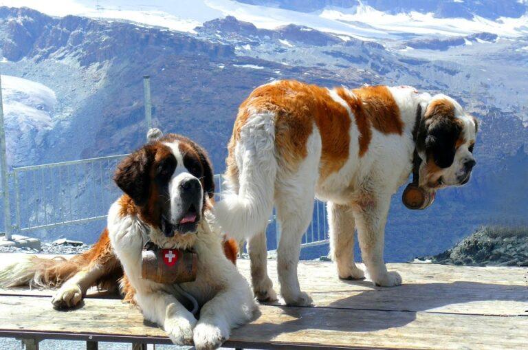 Chó Saint Bernard – giống chó núi Thụy Sỹ được ưa thích