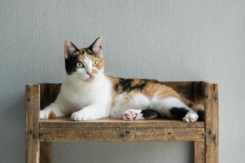 Giải mã sức hút của mèo tam thể đực – Giống mèo mang lại may mắn
